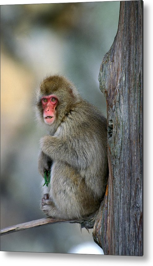 Adult Metal Print featuring the photograph Macaque Du Japon Macaca Fuscata by Gerard Lacz