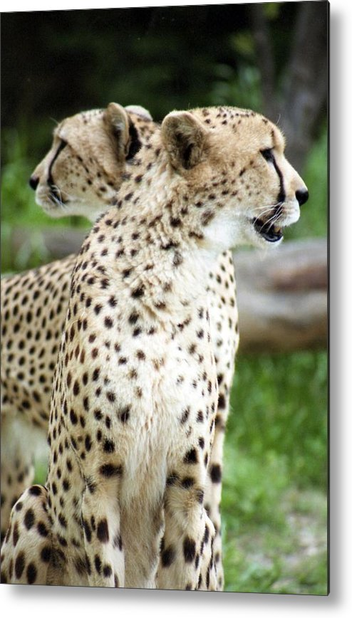 Cheetah Metal Print featuring the photograph Cheetah's 04 by Pamela Critchlow