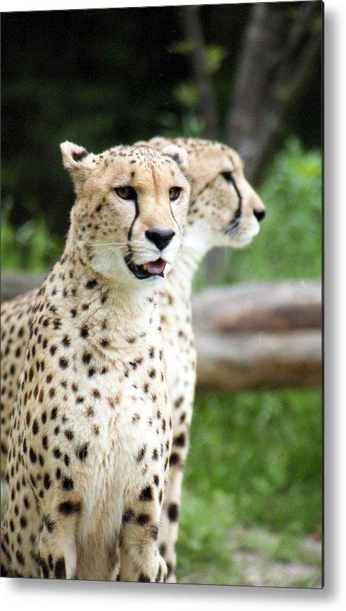 Cheetah Metal Print featuring the photograph Cheetah's 05 by Pamela Critchlow
