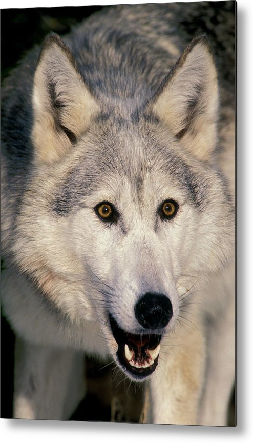 Light Metal Print featuring the photograph Gray Wolf Canis Lupus, Minnesota by Thomas Kitchin & Victoria Hurst