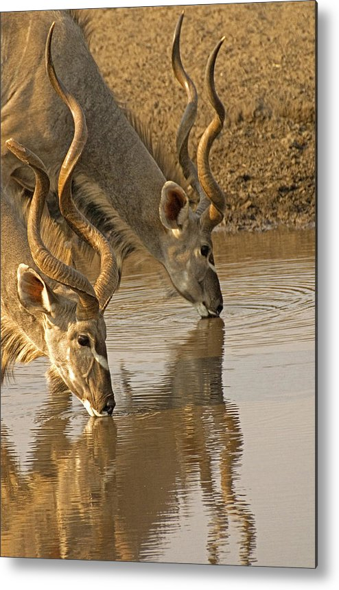 Kudu Metal Print featuring the photograph Kudus by Dennis Cox