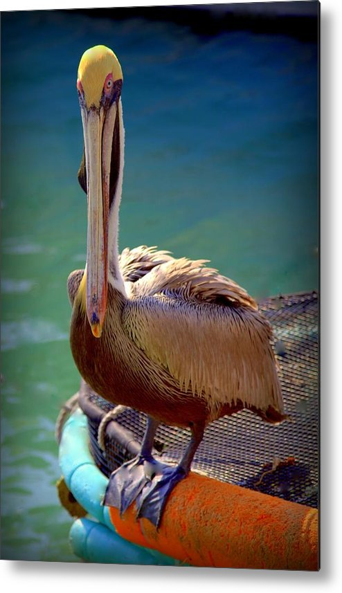 Pelicans Metal Print featuring the photograph Rainbow Pelican by Karen Wiles