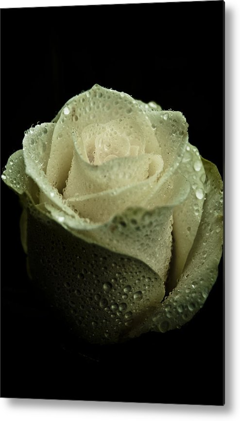 Rose Metal Print featuring the photograph Dark Rose by Grebo Gray
