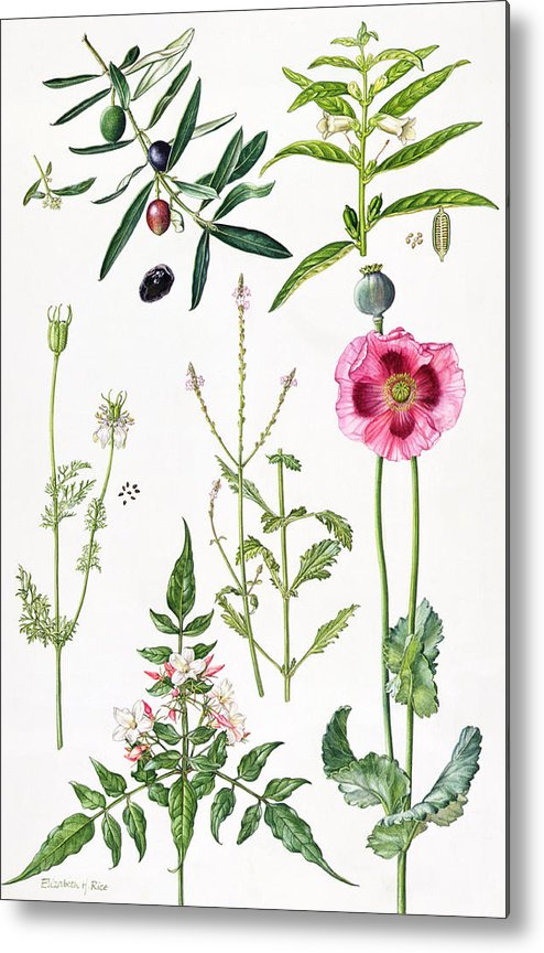 Sesame; Black; Cumin; Olive; Vervain; White; Jasmine; Herb; Botanical; Herbs; Opium Poppy; Olives; Leaf; Leafs; Flower; Flowering Metal Print featuring the painting Opium Poppy And Other Plants by Elizabeth Rice