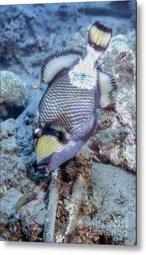 Wildlife Metal Print featuring the photograph A Titan Triggerfish Faces by Michael Wood