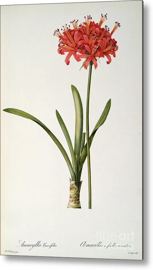 Amaryllis Metal Print featuring the drawing Amaryllis Curvifolia by Pierre Redoute