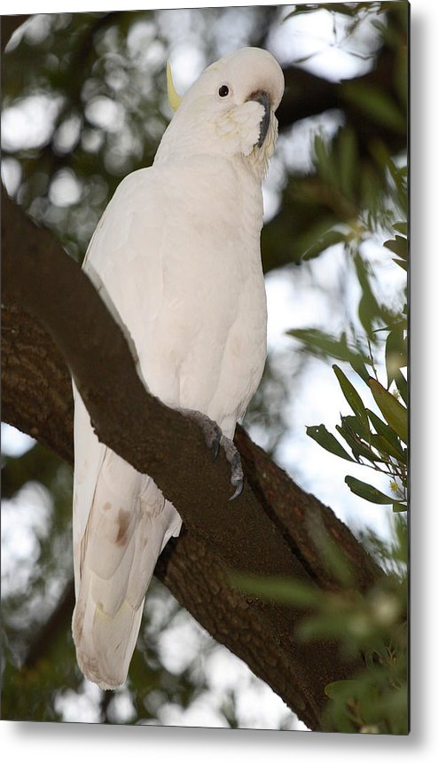 Forest Metal Print featuring the photograph Cockatoo by Masami Iida
