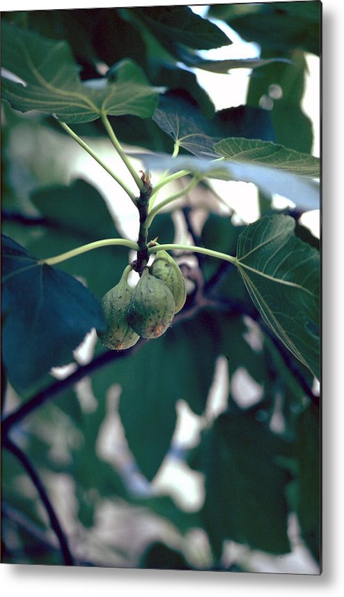 Fig Metal Print featuring the photograph Fig by Flavia Westerwelle