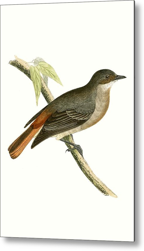 Bird Metal Print featuring the painting Grey Redstart by English School