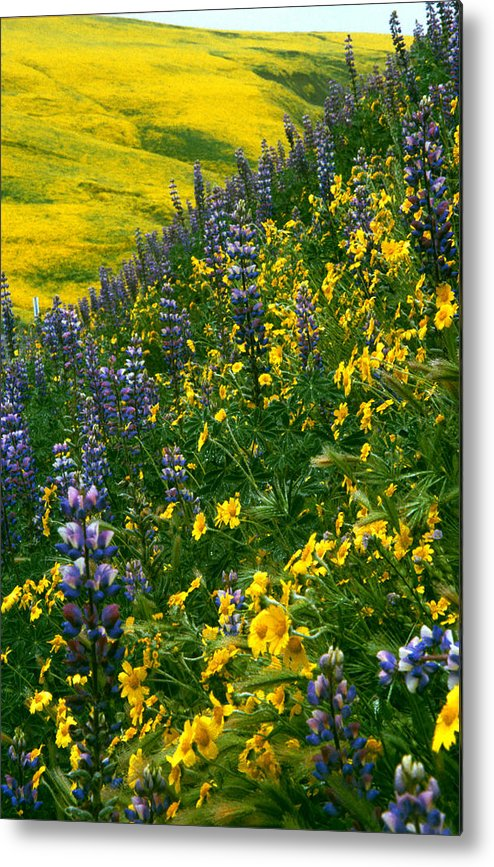 Flowers Metal Print featuring the photograph Lupins And Daisys by Gary Brandes