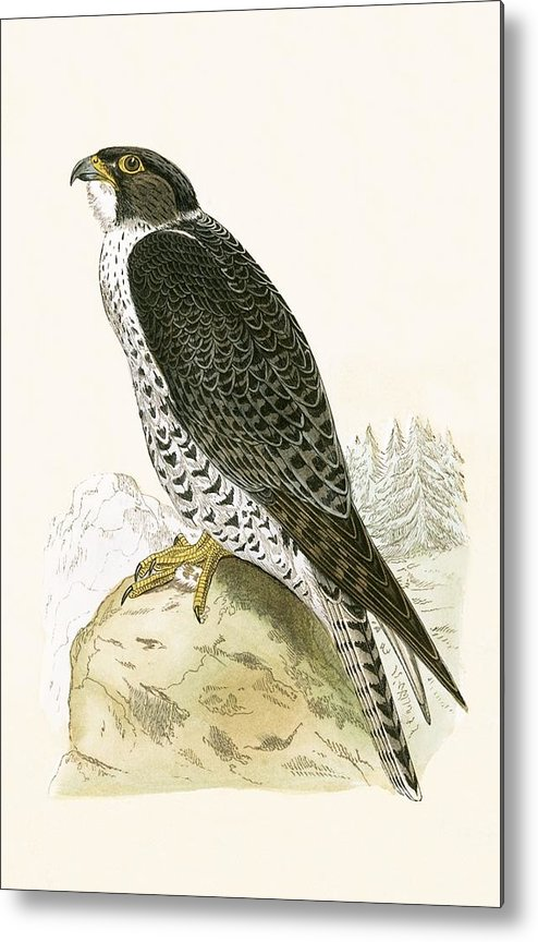 Norwegian Jer Falcon Metal Print featuring the painting Norwegian Jer Falcon by English School