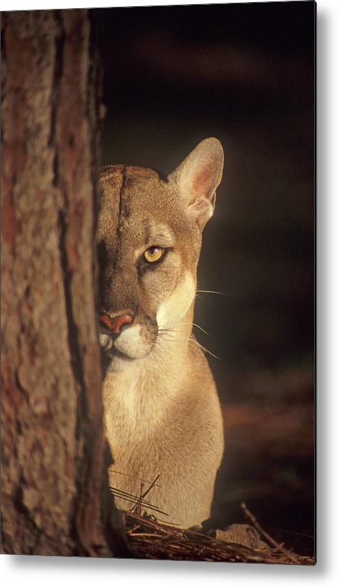 Florida Panther Metal Print featuring the photograph Watcher In The Woods by Gail Shumway