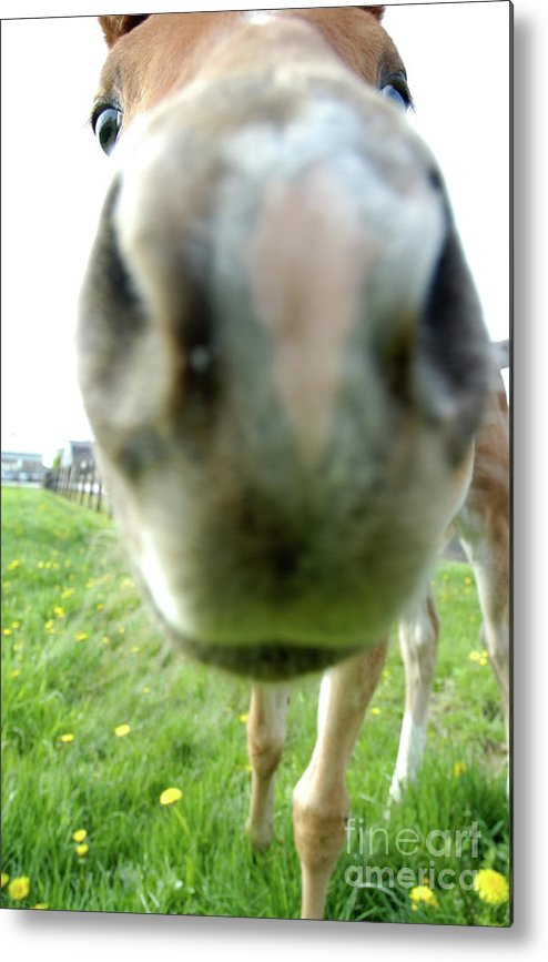 Filly Metal Print featuring the photograph Well Hello by Kathi Shotwell