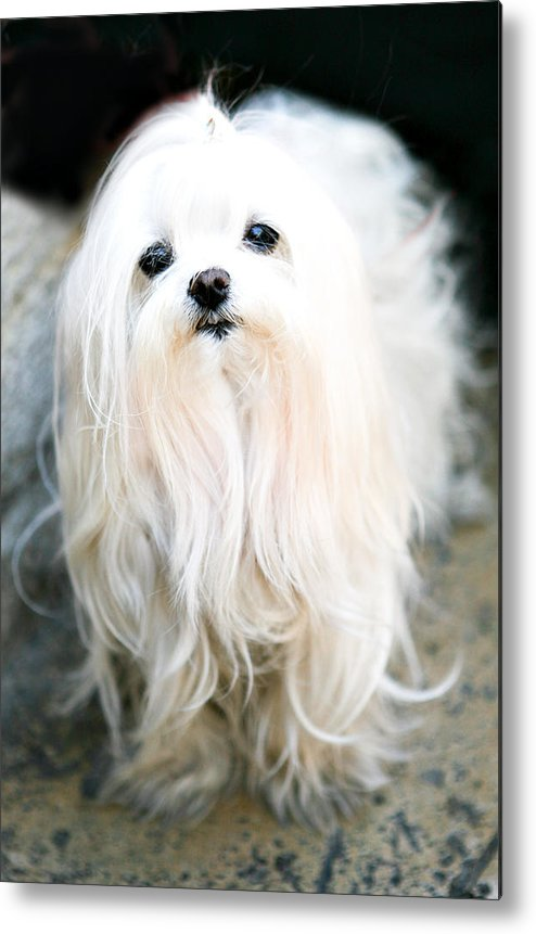Small Metal Print featuring the photograph White Fluff by Marilyn Hunt