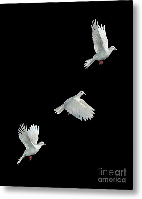 Java Dove Metal Print featuring the photograph Java Dove In Flight by Stephen Dalton
