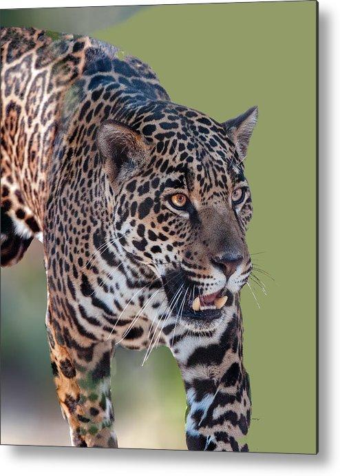 Animal Metal Print featuring the photograph Jaguar Walking Portrait by William Bitman