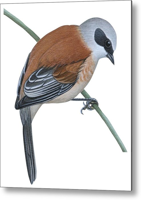 No People; Vertical; Side View; Full Length; One Person; One Animal; Animal Themes; Nature; Wildlife; Beauty In Nature; Simplicity; Uline Tit; Remiz Pendulinus; Twig; Perching Metal Print featuring the drawing Penduline Tit by Anonymous