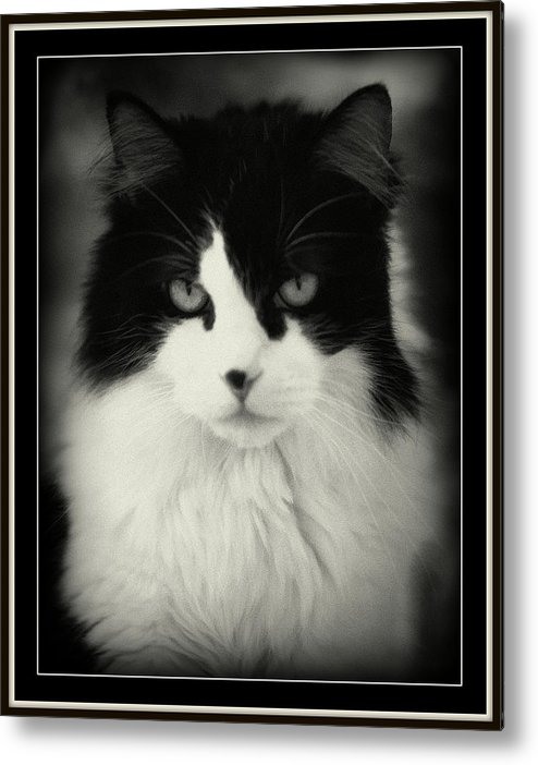 Cat Metal Print featuring the photograph Pete by Lynn Andrews