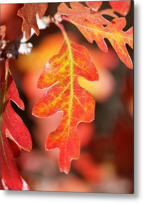 Autumn Metal Print featuring the photograph Autumn Leaf by Amara Roberts