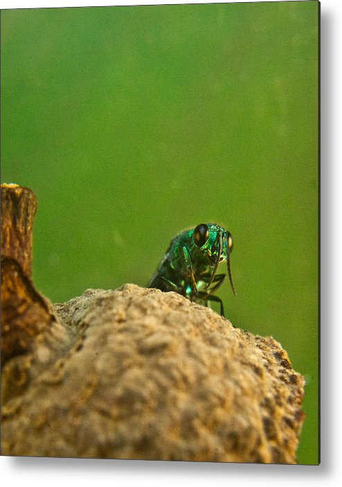 Wasp Metal Print featuring the photograph Halicid Wasp 2 by Douglas Barnett