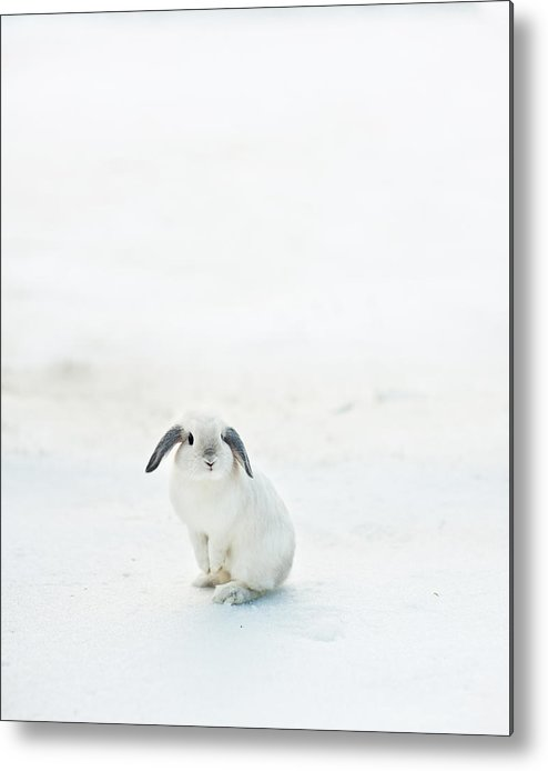 Vertical Metal Print featuring the photograph Holland Lop Bunny by Judewood