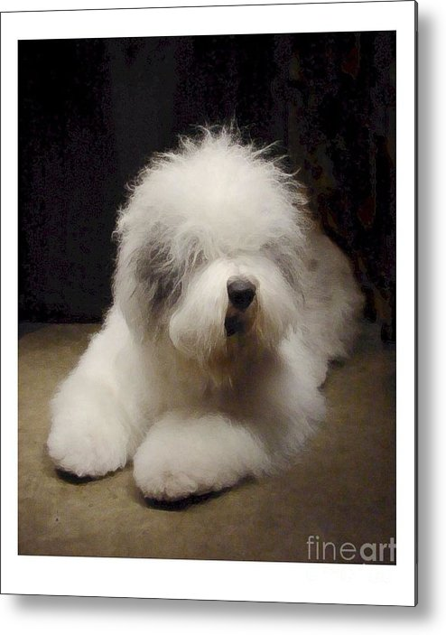 Old English Sheepdog Metal Print featuring the digital art Old English Sheepdog 527 by Larry Matthews