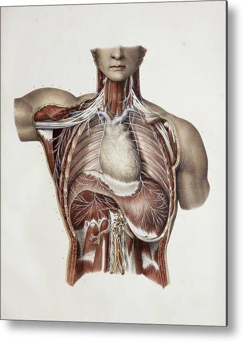 Nerve Metal Print featuring the photograph Thoracic Nerves, 1844 Artwork by