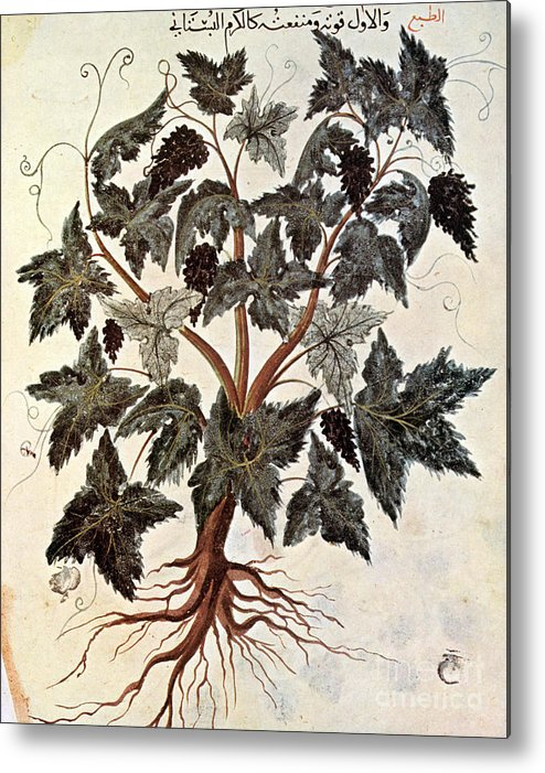 1229 Metal Print featuring the photograph Grapevine, 1229 by Granger
