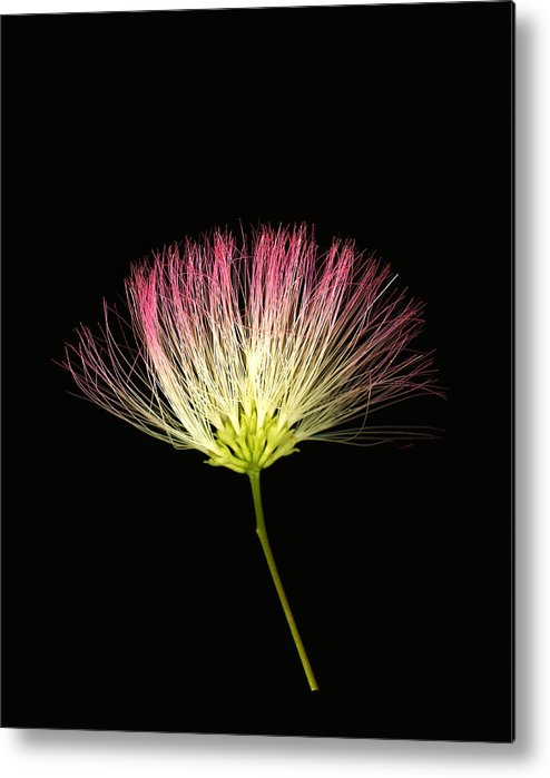 Scanography Metal Print featuring the photograph Pink Silk by Deborah J Humphries