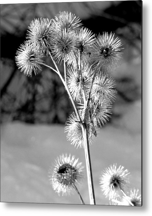 Fall Flower Metal Print featuring the photograph Sticky Buds by Douglas Pike