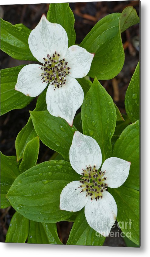 Bunchberry Metal Print featuring the photograph Bunchberry by John Shaw