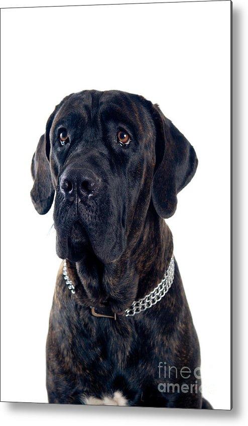 Cane Corso Dog Portrait Metal Print By Viktor Pravdica