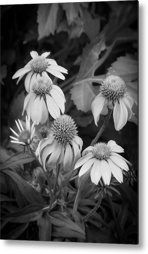 Echinacea Metal Print featuring the photograph Coneflowers Echinacea Rudbeckia Bw by Rich Franco