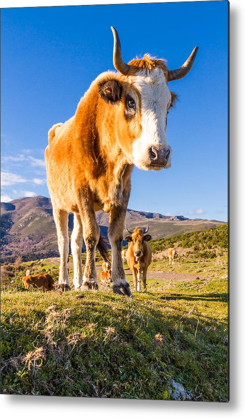 Colombano Metal Print featuring the photograph Corsican Cow At Col De San Colombano by Jon Ingall