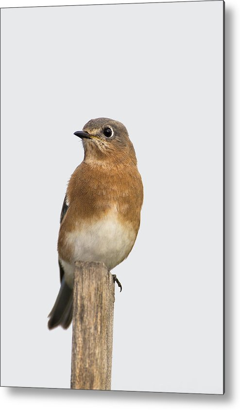 Bird Metal Print featuring the photograph Eastern Bluebird 3 by Gerald Marella