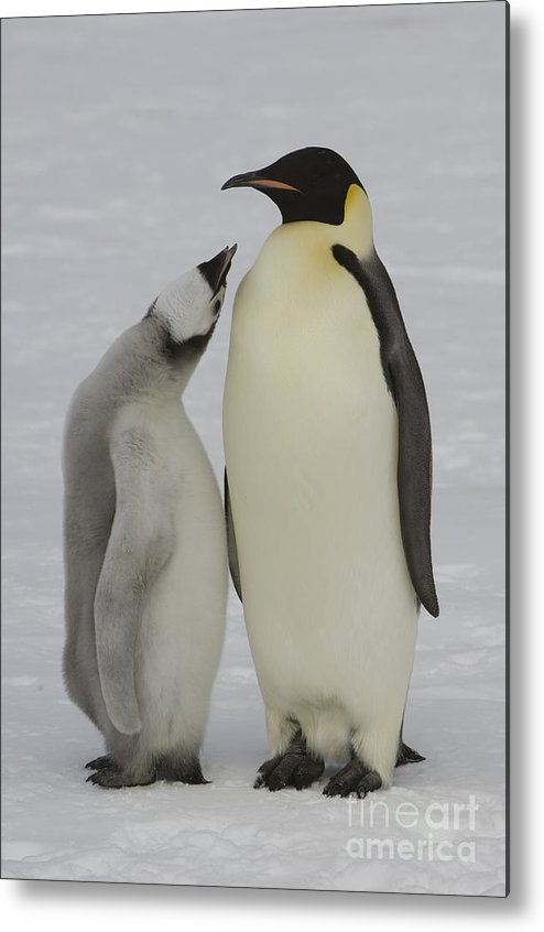 Emperor Penguin Metal Print featuring the photograph Emperor Penguins by John Shaw