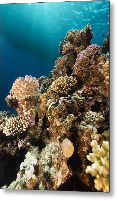 Animal Metal Print featuring the photograph Giant Clam And Tropical Reef In The Red Sea. by Stephan Kerkhofs