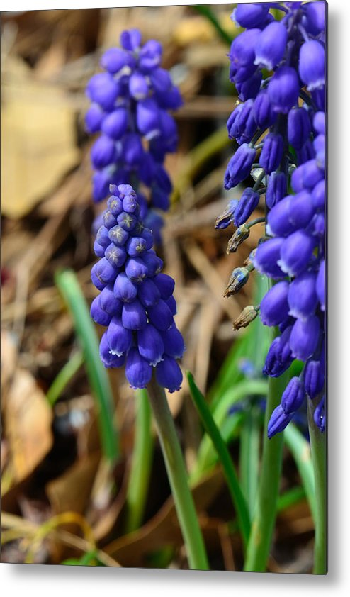 Grape Hyacinths Metal Print featuring the photograph Grape Hyacinths by Larry Bishop