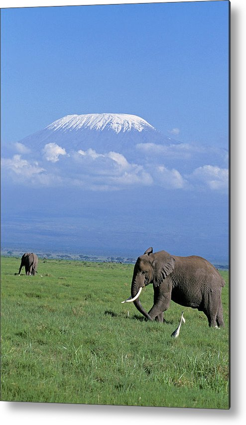 Adult Metal Print featuring the photograph Kilimandjaro by Gerard Lacz