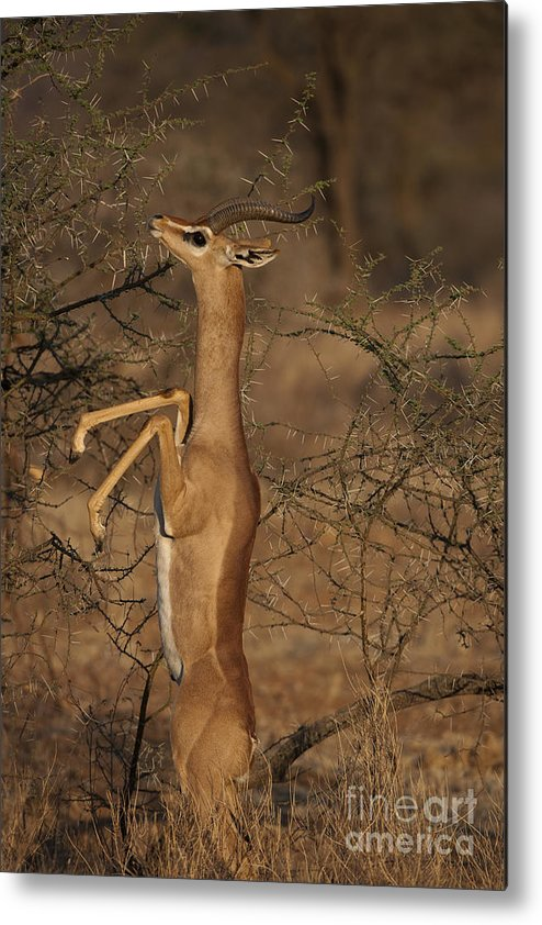 African Fauna Metal Print featuring the photograph Male Gerenuk by John Shaw