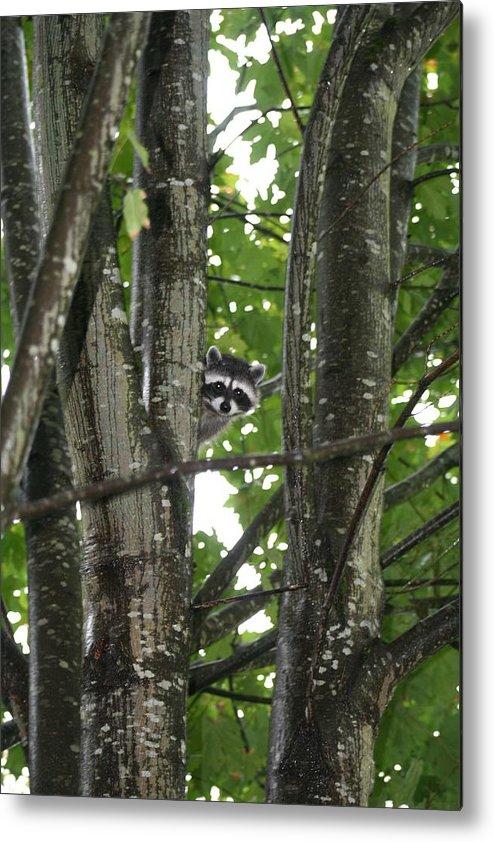 Raccoon Metal Print featuring the photograph Peeking At Me by Myrna Walsh