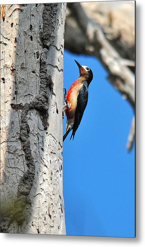 Bird Metal Print featuring the photograph Puerto Rican Woodpecker Endemic by Alan Lenk
