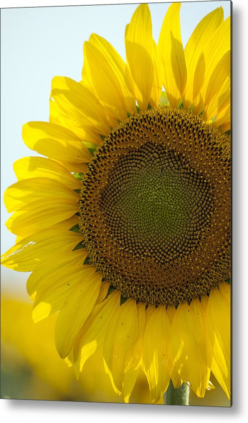 Sunflower Metal Print featuring the photograph Sun Kissed by Debby Richards