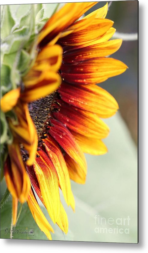 Mccombie Metal Print featuring the photograph Sunflower Named The Joker by J McCombie