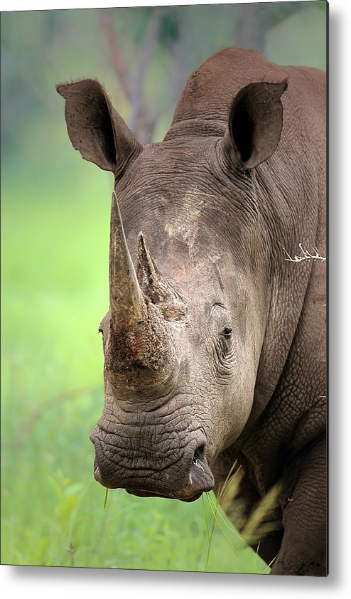 Square-lipped Metal Print featuring the photograph White Rhinoceros by Johan Swanepoel