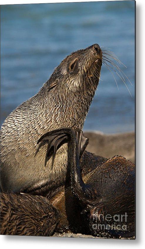 Antarctic Fur Seal Metal Print featuring the photograph Antarctic Fur Seal by John Shaw