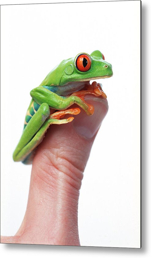 Color Metal Print featuring the photograph Red-eyed Tree Frog Agalychnis Callidryas by Corey Hochachka