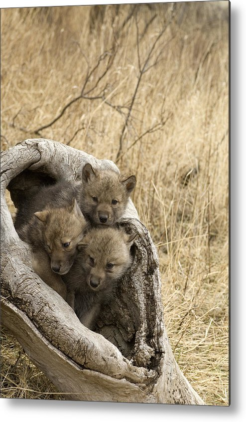 Wolf Metal Print featuring the photograph Timber Wolf Canis Lupus by Carol Gregory