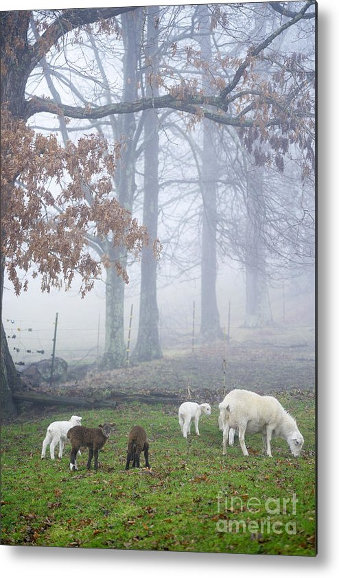 Lamb Metal Print featuring the photograph Winter Lambs Foggy Day by Thomas R Fletcher