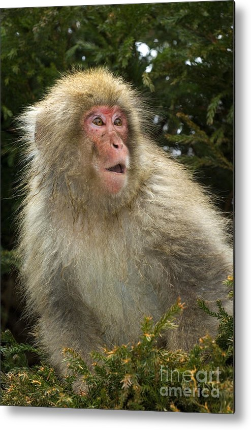 Japanese Macaque Metal Print featuring the photograph Japanese Macaque by John Shaw